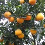 Tại sao khách hàng ưa chuộng cam Vinh hơn các loại cam khác