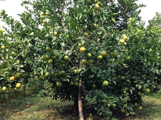 Cây cam khi trái tới mùa