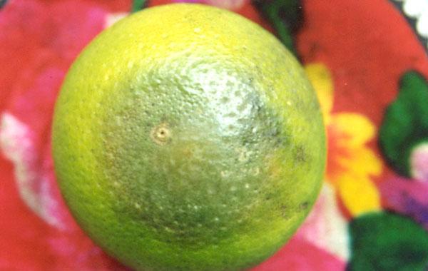 Bệnh thối đầu trái cam