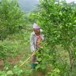 Hướng dẫn chăm sóc cam Vinh sau thời gian trồng