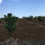 Quản lý chất dinh dưỡng trên cây Cam