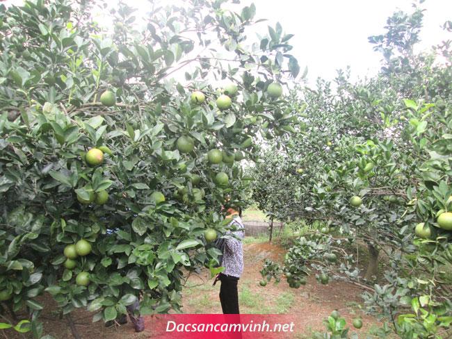 Cam Vinh bao tiền 1kg