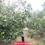 Cam Vinh tại Hà Nội dưới 50kg chắc chắn là cam giởm