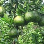 Canh tác cam sành trái mùa đạt năng suất cao