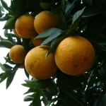 Tìm hiểu về các giống cam Vinh