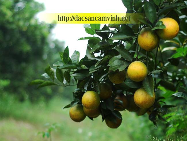Những trái cam Vinh trĩu quả