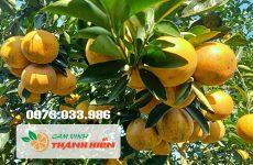 Những trái cam Vinh tại vườn Cam Thanh Hiền tháng 12/2019