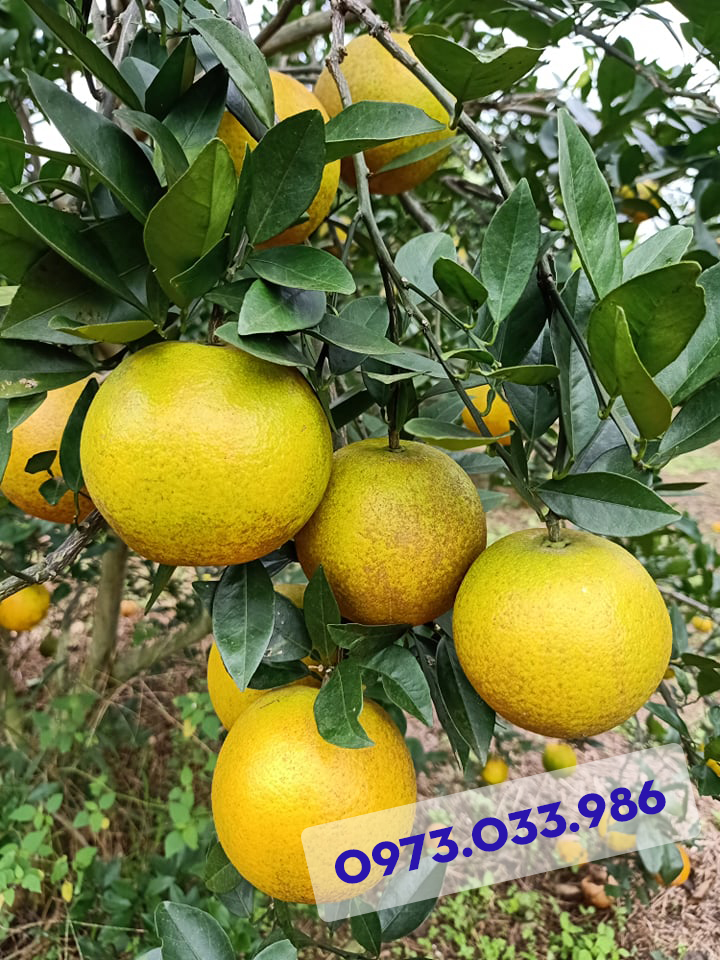 Hình thức giống Cam Xã Đoài có thể không được bóng bẩy, bắt mắt nhưng hương vị và vị ngọt, hương thơm của nó thì ít giống cam nào so sánh được