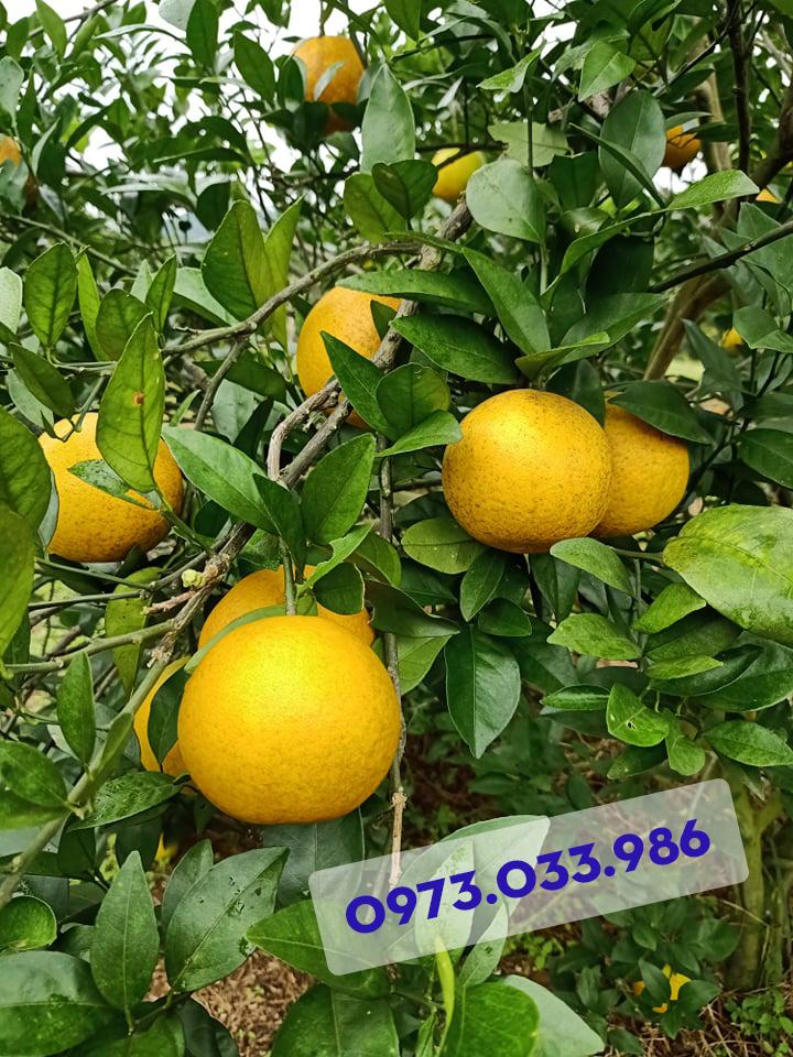 Những thực khách thường xuyên ăn Cam Vinh sẽ hiểu được những trái cam chín vàng có vệt nám là những trái cam  còn đặc biệt hơn cả. Nó có vị ngọt đậm, mọng nước